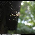 Garden Spider in Web