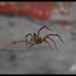Angry Funnel Web Spider